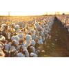 100% Egyptian cotton 400TC Flat sheets
